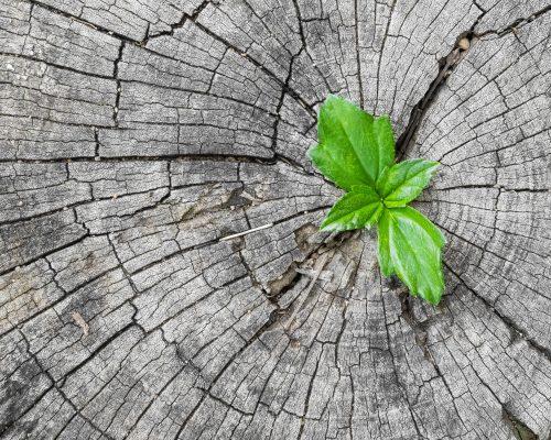 Pflanze wächst auf trockenem Baumstumpf